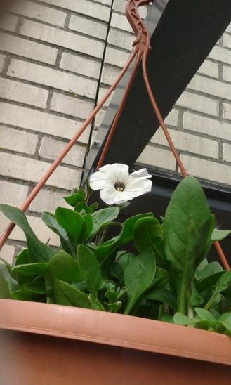 Petunia - zelf gezaaid -