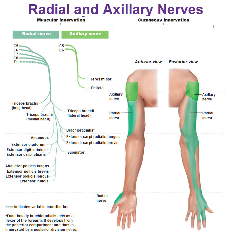 radial-and-axillary-nerves-muscular-and-cutaneous-innervation